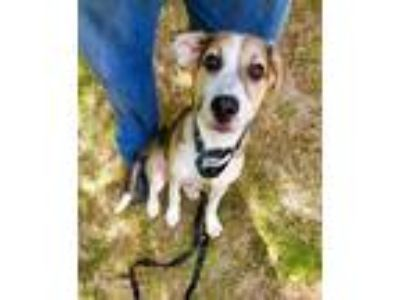 Adopt Lincoln a Tan/Yellow/Fawn - with White German Shepherd Dog / Husky / Mixed