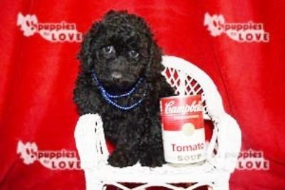 Poodle (Toy) PUPPY FOR SALE ADN-94528 - AKC TOY FULL REGISTRATION