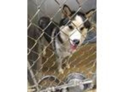 Adopt Cheetos a Black Husky / Mixed dog in Anderson, IN (25144087)