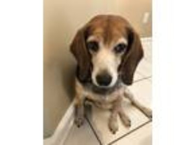 Adopt Iris a Brindle - with White Beagle dog in Collierville, TN (25651850)