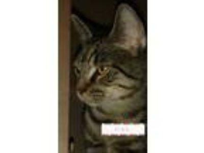 Adopt Dino a American Shorthair, Tabby