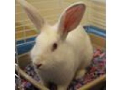 Adopt Munequito a White Other/Unknown / Other/Unknown / Mixed rabbit in