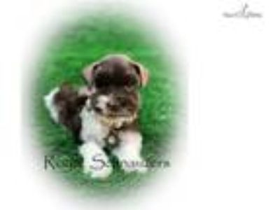 AKC Toy Flashy Parti Miniature Schnauzer Puppies
