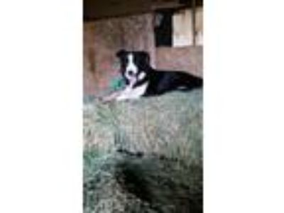 Adopt Quinn a Border Collie