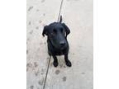 Adopt Kobe a Black Labrador Retriever dog in Owasso, OK (25340260)