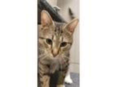 Adopt Hawk a Brown Tabby Domestic Shorthair / Mixed (short coat) cat in Herndon