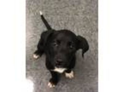 Adopt Eclipse-A a Labrador Retriever