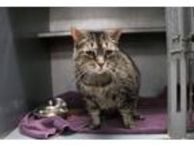 Adopt Cantaloupe a Brown Tabby Domestic Shorthair (short coat) cat in Houghton