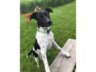 Adopt Polka Dot a White - with Black Rat Terrier / Mixed dog in Park Falls