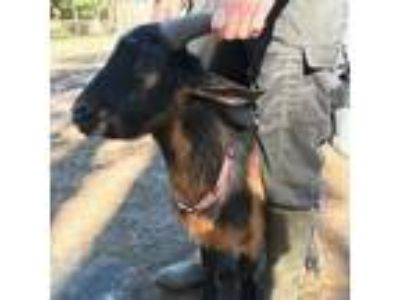 Adopt Willie (goat) a Goat