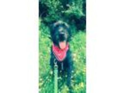Adopt Stewart a Black Poodle (Standard) / Pit Bull Terrier / Mixed dog in Avon