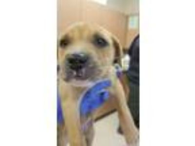 Adopt SALLY a Labrador Retriever, Hound