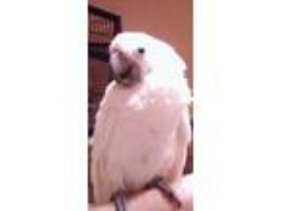 Adopt Wiki a Cockatoo