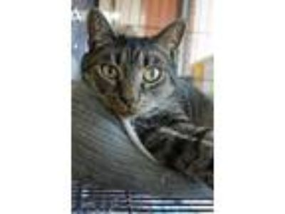 Adopt Chase a Domestic Short Hair
