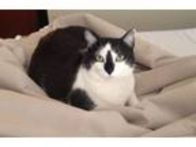 Adopt Princess Kellogg a Black & White or Tuxedo Domestic Shorthair (short coat)