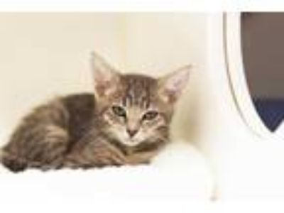 Adopt HERA a Gray or Blue Domestic Shorthair / Mixed (short coat) cat in