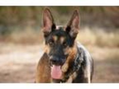 Adopt Chopper a German Shepherd Dog