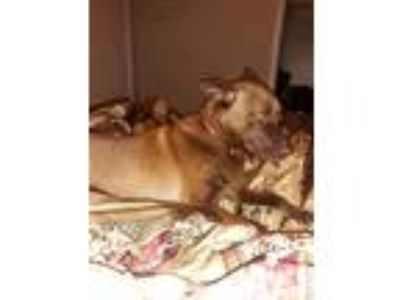 Adopt Koko a Brown/Chocolate - with Black Labrador Retriever / German Shepherd