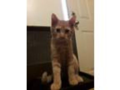 Adopt Reggie a Domestic Short Hair