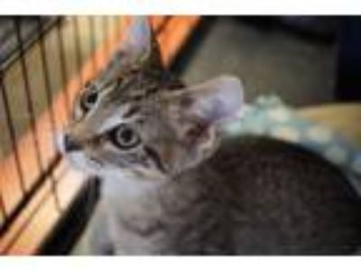 Adopt Galen a Domestic Short Hair