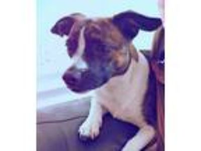 Adopt Bea a Brindle - with White Boston Terrier / Dachshund / Mixed dog in