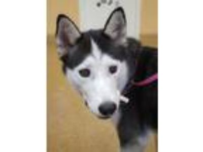Adopt Sasha a Black - with White Husky / Mixed dog in Orangeburg, SC (25334766)