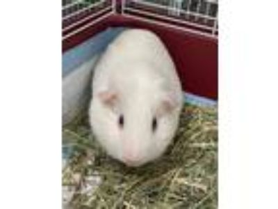 Adopt SNOW a White Guinea Pig / Guinea Pig / Mixed small animal in Houston