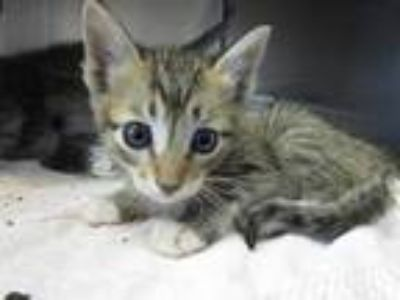 Adopt SCARLETT a Brown Tabby Domestic Shorthair / Mixed (short coat) cat in