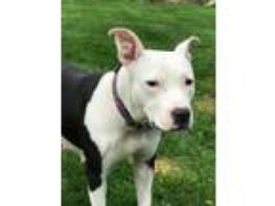 Adopt Daisy Mae a Pit Bull Terrier