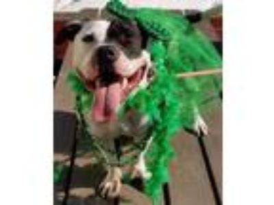 Adopt Chicken a White - with Black Pit Bull Terrier / Mixed dog in Pottsville