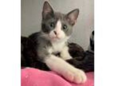 Adopt Lucky Charm a Gray or Blue Domestic Shorthair / Domestic Shorthair / Mixed