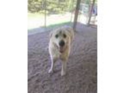 Adopt Pyramid a White Great Pyrenees / Mixed dog in Wisconsin Rapids