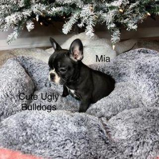 French Bulldog PUPPY FOR SALE ADN-105033 - Mia  French Bulldog