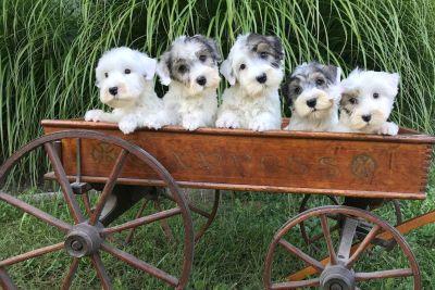 Afterglow Sealyham Terrier Puppies