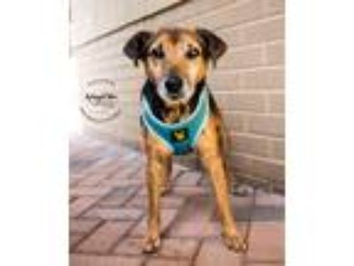 Adopt Harold Blue a Brown/Chocolate - with Black Jack Russell Terrier / Beagle /