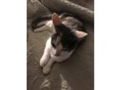 Adopt Violet a Calico or Dilute Calico Calico / Mixed cat in Bluefield