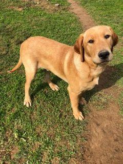 Labrador Retriever PUPPY FOR SALE ADN-106012 - Pure Labrador