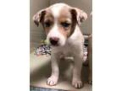 Adopt Bandit a Australian Cattle Dog / Blue Heeler