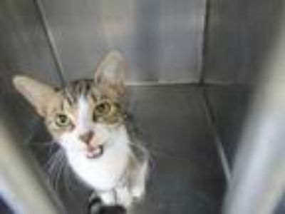 Adopt Chit Chat a White Domestic Shorthair / Domestic Shorthair / Mixed cat in