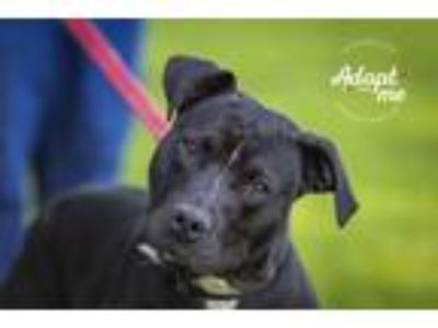 Adopt Lillian a Mixed Breed, American Staffordshire Terrier