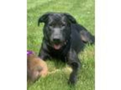 Adopt Mollie-in foster care a Labrador Retriever, Mixed Breed