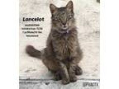 Adopt Lancelot a Brown or Chocolate Maine Coon / Mixed cat in Edinburg