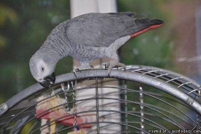 African Grey Parrot Ready For New Home