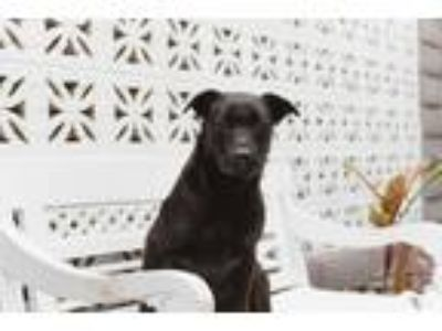 Adopt Sterling a Black Terrier (Unknown Type, Medium) / Mixed dog in Inglewood