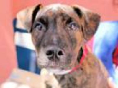 Adopt MAC a Pit Bull Terrier, German Shorthaired Pointer