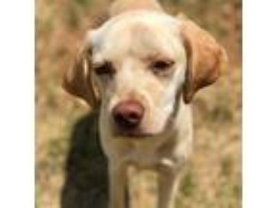 Adopt Tiffany a Beagle, Labrador Retriever