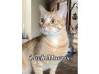 Adopt Zack Morris a Domestic Short Hair