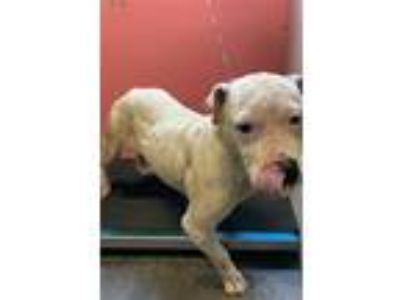 Adopt SPARROW a Pit Bull Terrier, Mixed Breed
