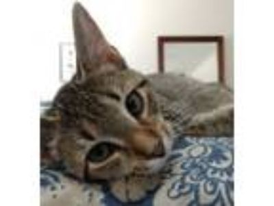Adopt Chelsea a Domestic Short Hair