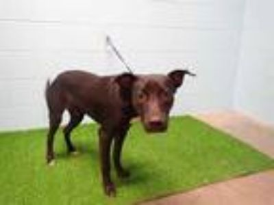 Adopt DAPPER a Black - with White Labrador Retriever / Mixed dog in St.